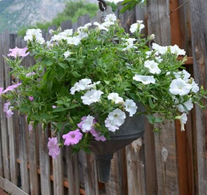 This petunia comes up year after year