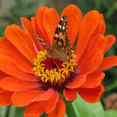 Jeanie Merritt's zinnia attracts butterflies