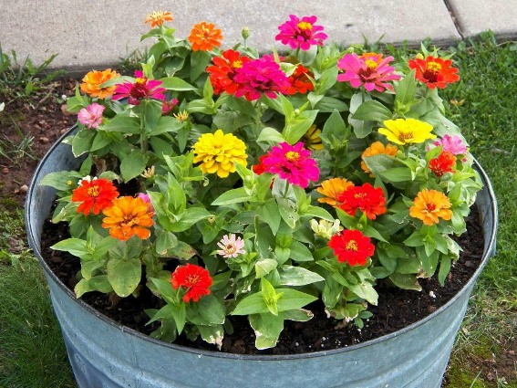 Tammy Blair-Lack's tub of COLOR proves zinnia do fine in containers