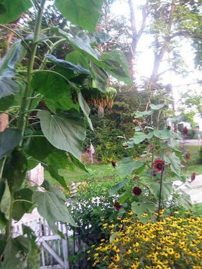 The last of the garden's flowers droop