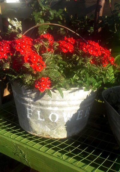 Billie Hayman‎ long-lasting geraniums