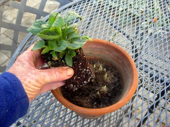 Set in pansy or viola seedlings