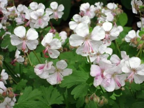 Geranium 'Biokovo'