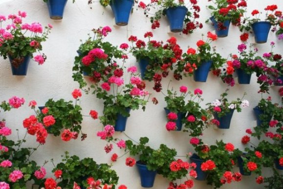 Geraniums fill blue buckets