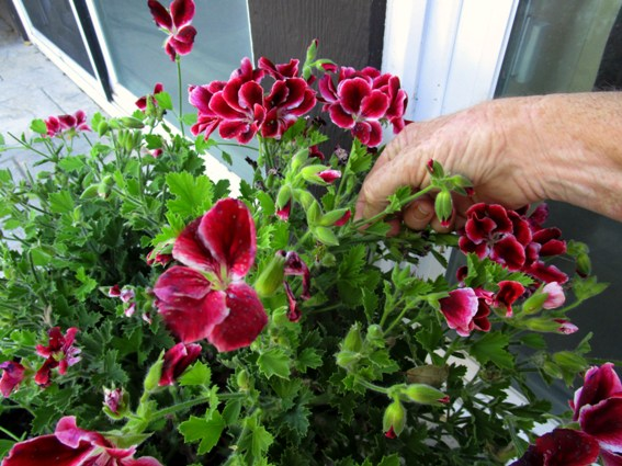 Pinching Martha Washington geranium blooms