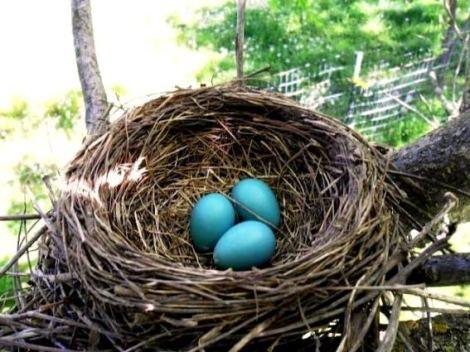 Sandy Frederick's nest with 'eggs'