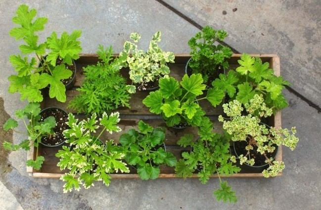 Scented geranium leaf varieties