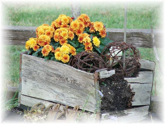 Jeanne Sammons's golden mums are a favorite