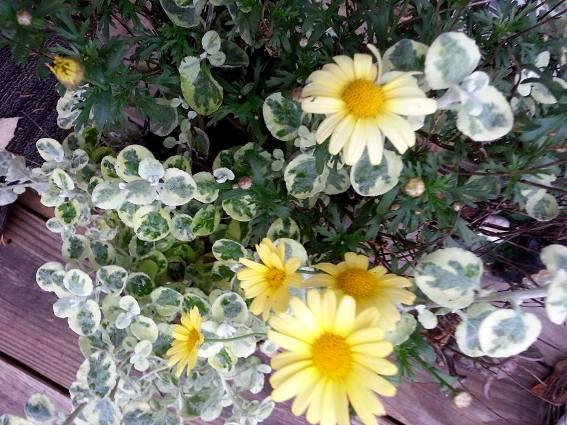 Karen Amacher's daisies and licorice plant,...still bloom in Fall