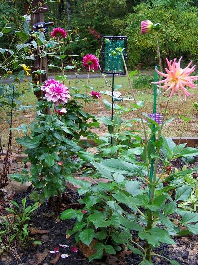 Sue Jordan has just a few sweeties blooming - dahlias mostly