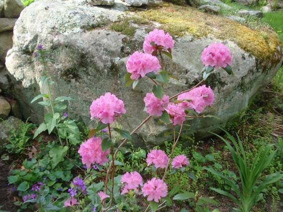 Cherrie's pink flowers against the rugged rocks