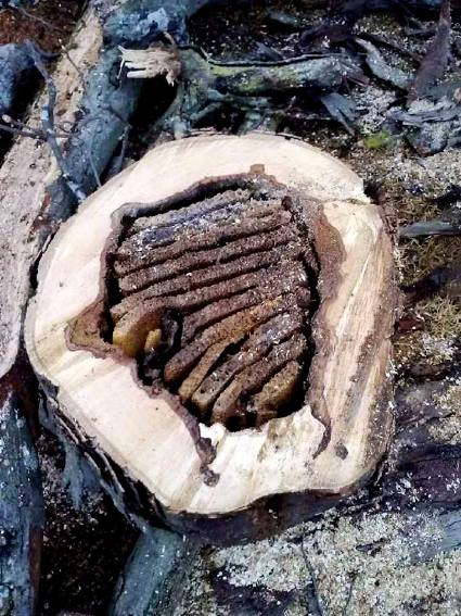 Linda Gladman found a bee hive in a hollow log