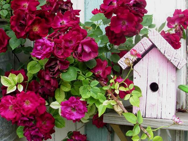 Old Fashion red roses and shabby pink birdhouse