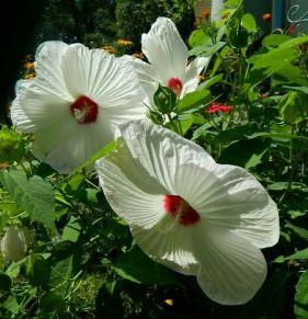 Hardy Hibiscus moscheutos 'Disco Belle White' from Dandi Gentry's garden