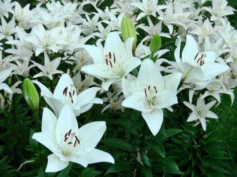 Jeanne Sammons's Asiatic lilies