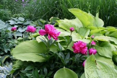 Mary Taylor's peonies