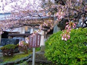 Cherry blossom of Matsumae-jo