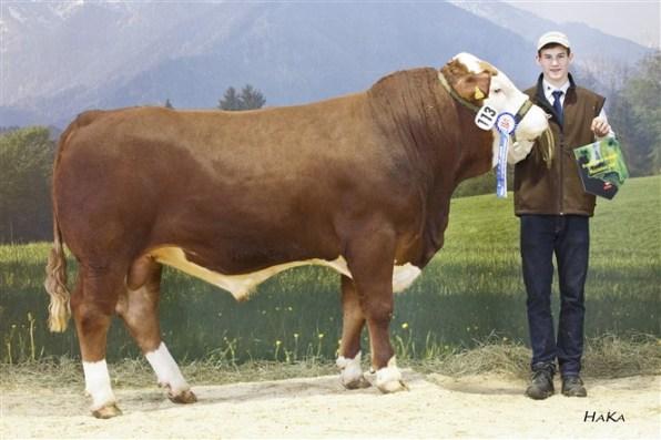 Reserve National Champion male 2016: KW Heinrich PP* (Heinrich AT x GS Rambold AT) dob: 23.12.2014 von Familie Kreil, Weng im Innkreis, FIH