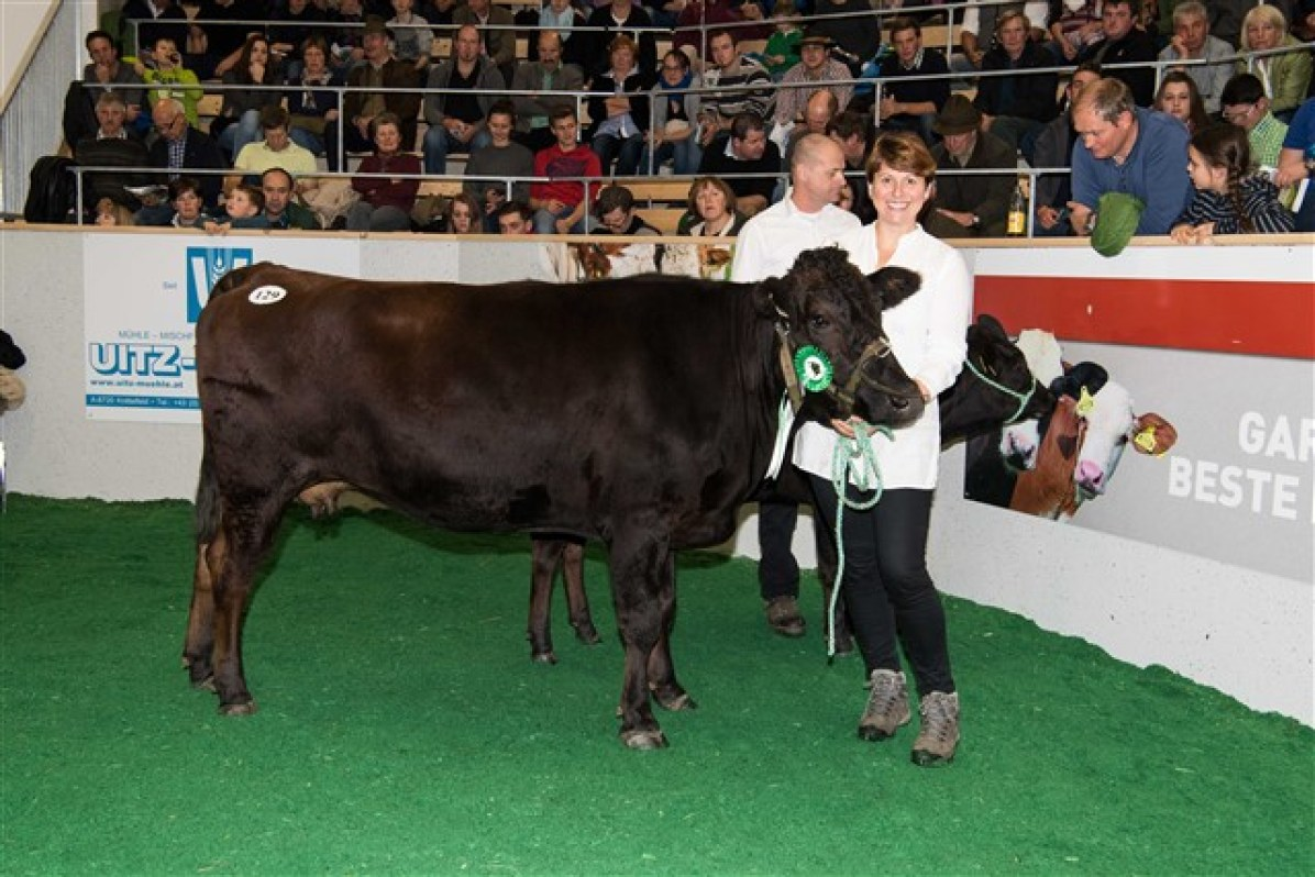 Wagyu cow at a show in Styria