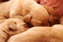 Fox red Labrador gundog puppies