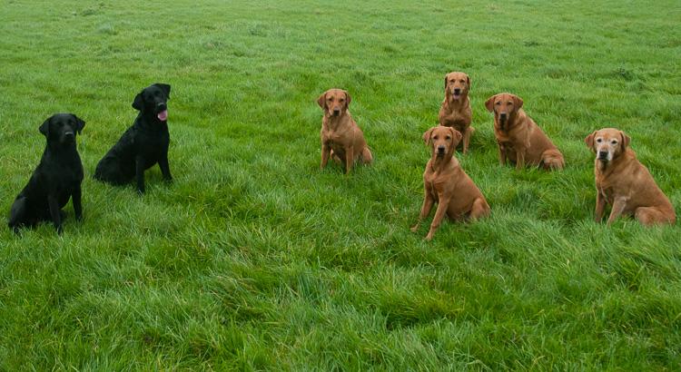 Labrador gundogs