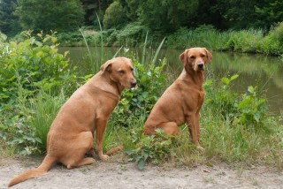 Fox Red Labrador Gundogs