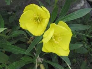 Onagre du Missouri en fleur