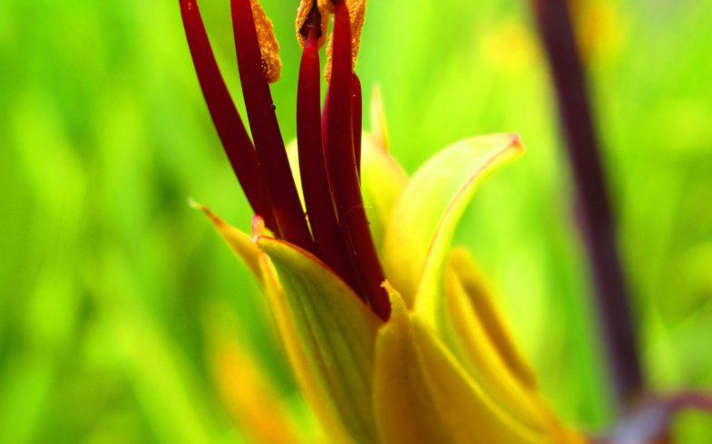fleur de lin de Nouvelle Zélande