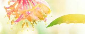 bachbluete-No-16-honeysuckle-echtes-geissblatt