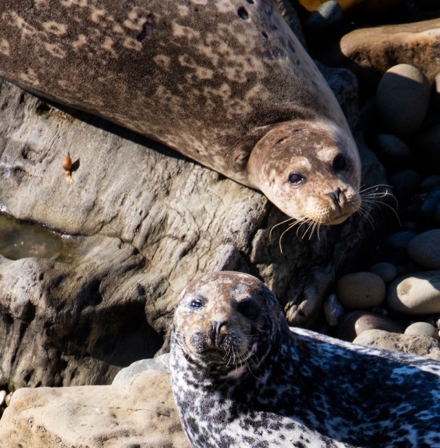 Seals, Carpinteria, California