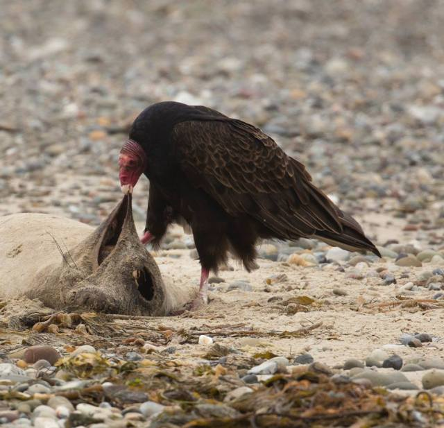 Vulture Eating a Seal, Goleta, California