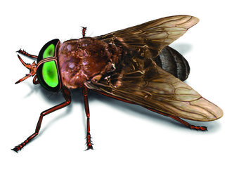 How to Get Rid of Horse Flies - Facts & Control Techniques