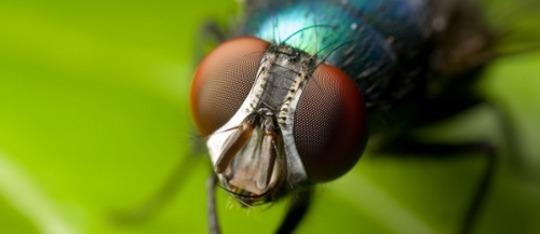 horse fly lifespan