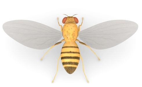 Fruit-Fly-3D-Structure
