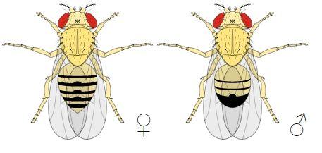 Male-VS-Female-FruitFly-Comparison