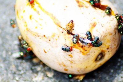 Rotten-Fruit-With-Fruit-Flies