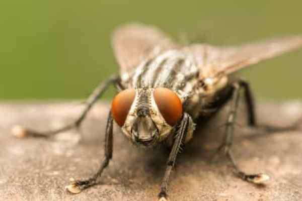 How Long Do Flies Live