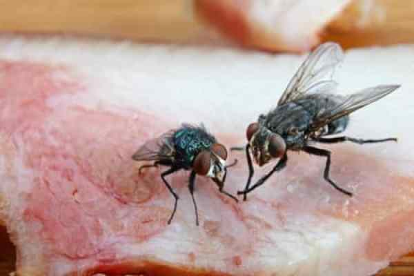 What do Flies Eat