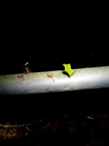 Leaf cutter Ants in Monteverde Cloud Forest Costa Rica EF tours