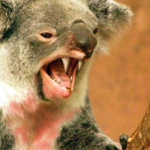 Drop Bears... Scary as.