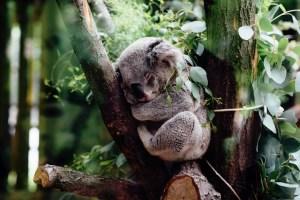 koalas in australia