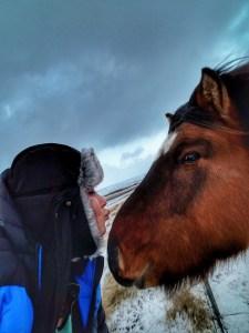 Ice horses icelandic