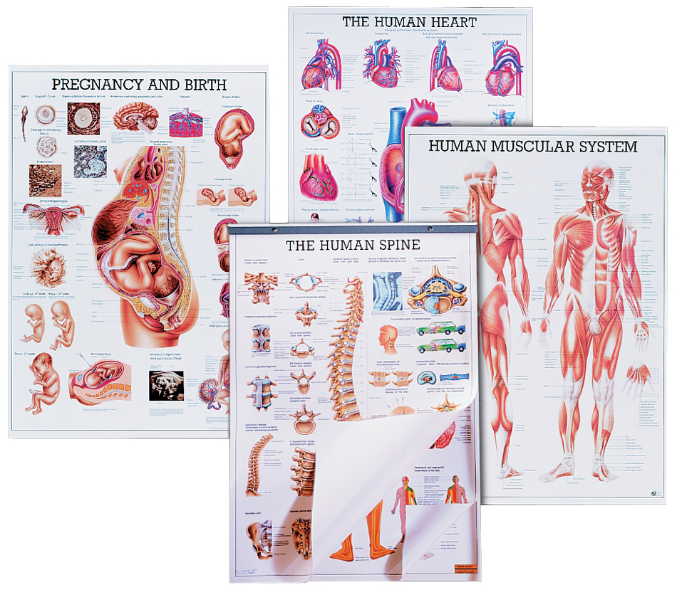 hight resolution of respiratory system chart for anatomy studies