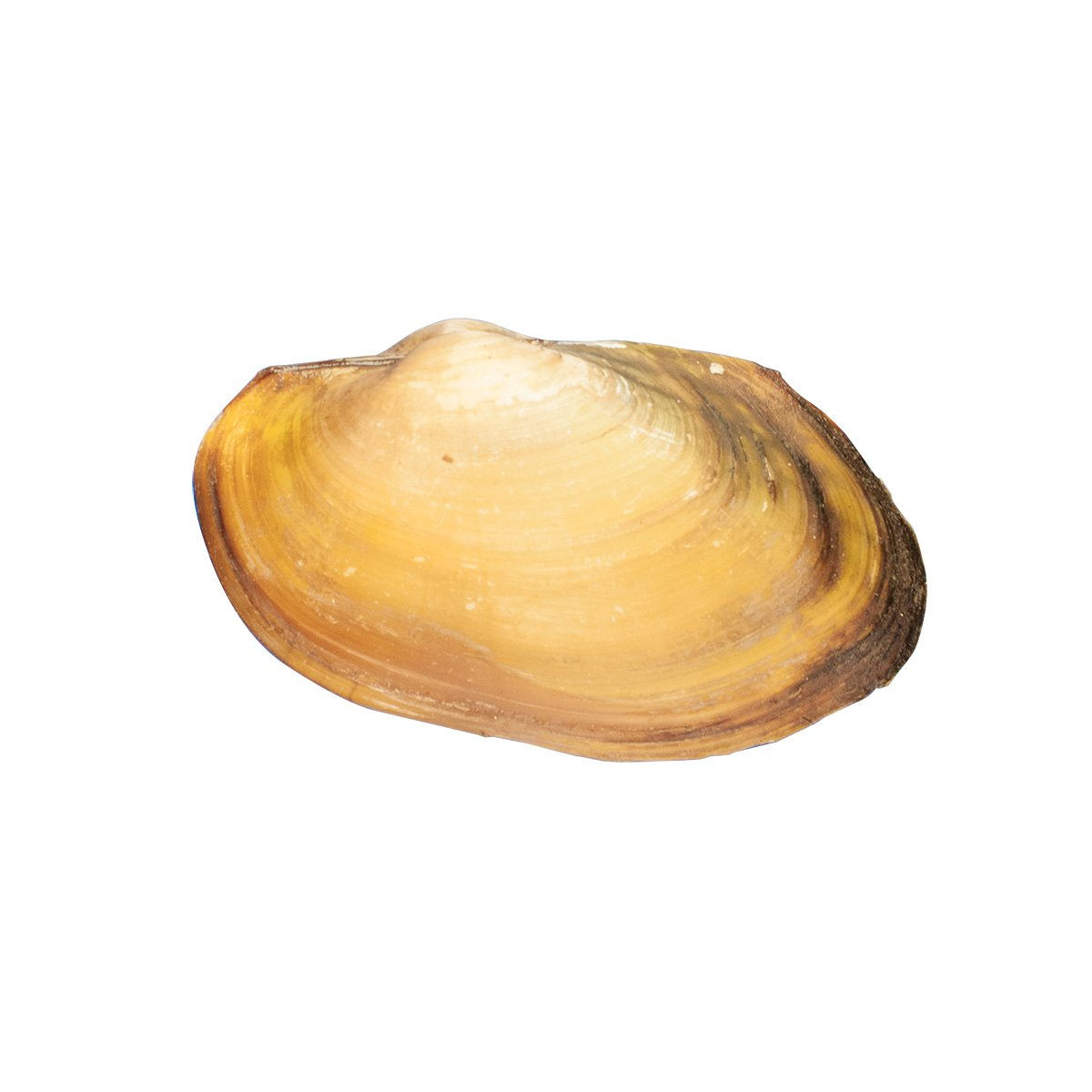 clam dissection diagram you can create a database for preserved clams in biology and life science