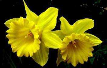 daffodils-yellow