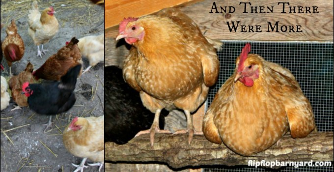And Then There Were More  Laying Hens