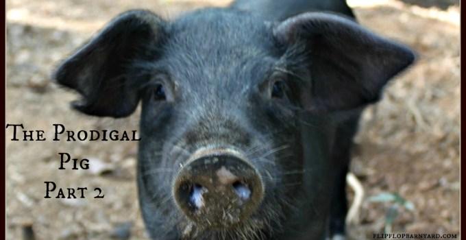 The Prodigal Pig