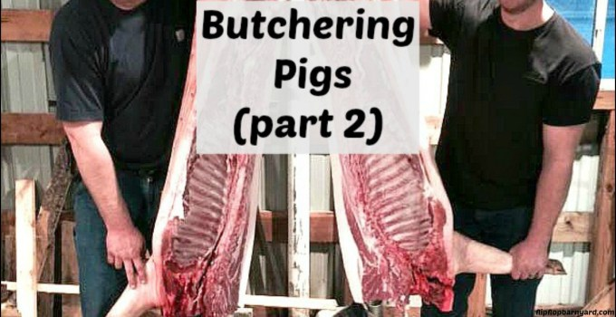 Butchering pigs at home- parting out the pork.