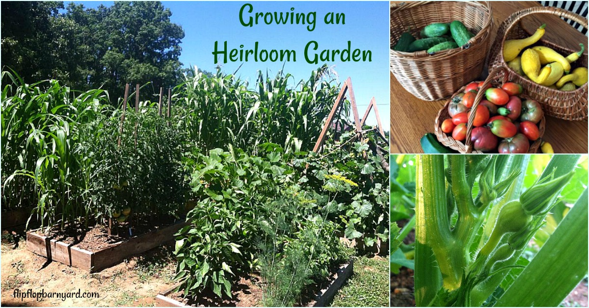 Growing an heirloom garden