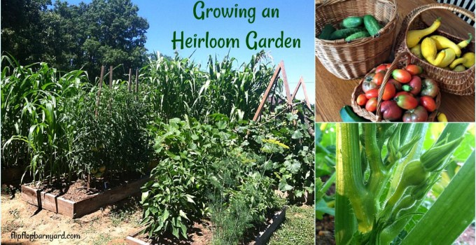 Our family chooses to grow an heirloom garden and here's why....